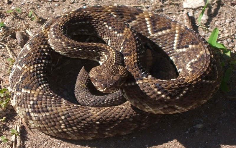 Las serpientes de cascabel son un género de la subfamilia de las víboras de foseta dentro de la familia de los vipéridos. Son serpientes venenosas y endémicas del continente americano, desde el sudeste de Canadá al norte de Argentina.