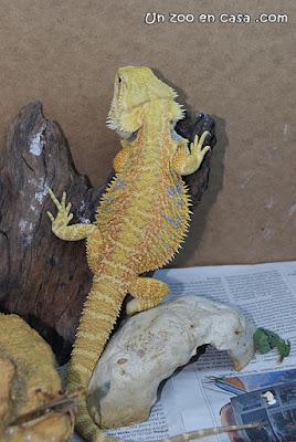 Dragón barbudo en el terrario