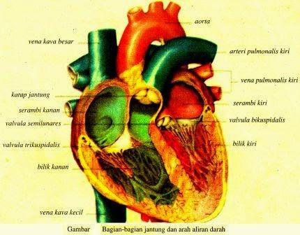 Alat-Alat Peredaran Darah