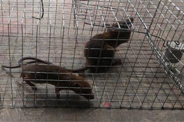 Hati-hati Dengan Air Kencing Tikus Sangat Berbahaya Bagi Kesehatan : Yuk Simak Bersama