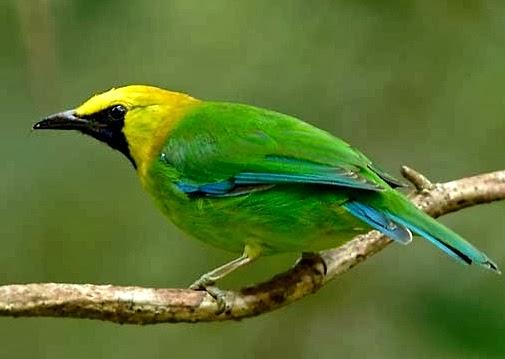 Budidaya Burung CARA MERAWAT BURUNG CUCAK RANTE