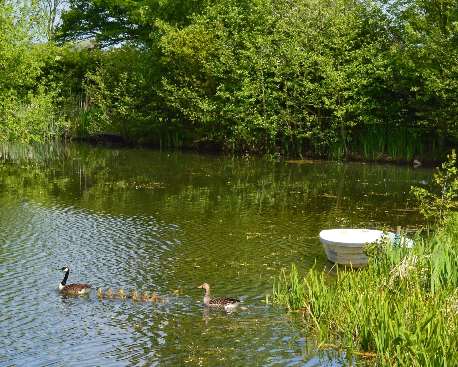 Acorn glade - geese and goslings