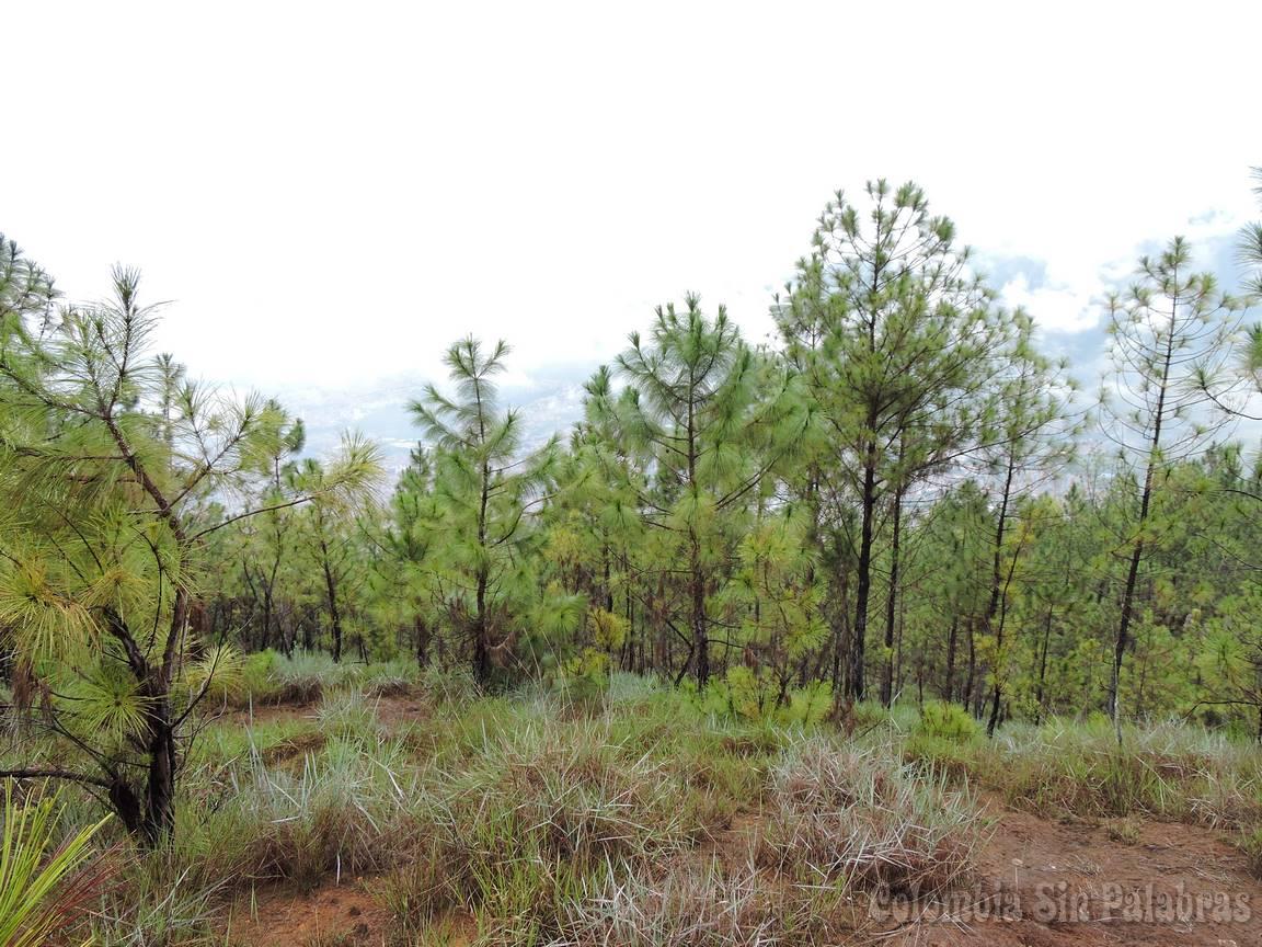 pinos jóvenes que crecen en el cerro quitasol
