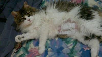 gata-esterilizada-herida-cubierta