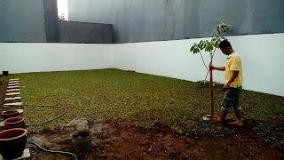 Jual Rumput Gajah Mini,Murah,Harga Rumput Gajah Mini Permeter,Jual Rumput Taman Murah