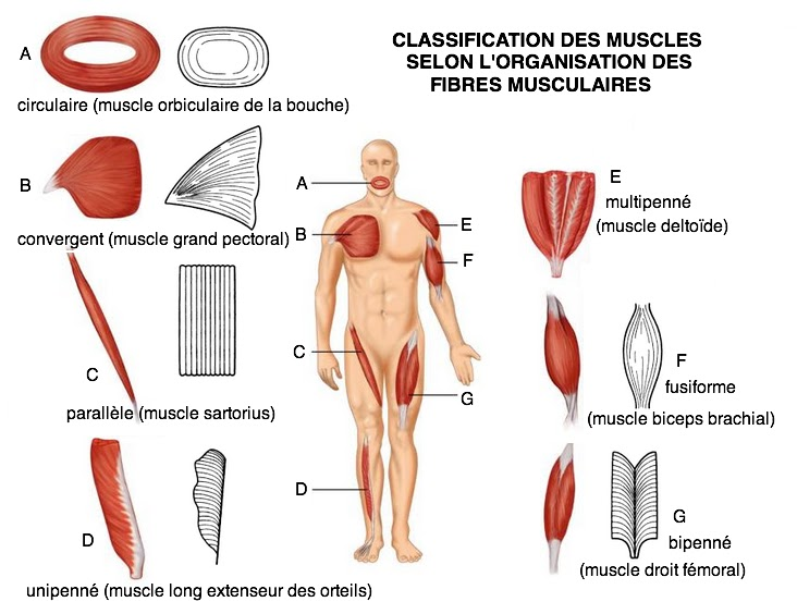 classification muscle forme organisation fibres unipenné fusiforme