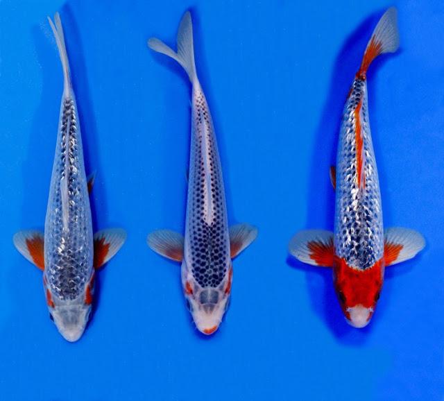 Dunia Ikan Hias - KOI ASAGI