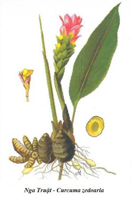 Nghệ Đen - Nga Truật - Curcuma zedoaria - Nguyên liệu làm thuốc Chữa Bệnh Tiêu Hóa