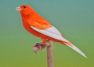 Fungsi serta Langkah Pemberian Jangkrik buat Burung Kenari