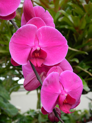Phalaenopsis Moth Orchid magenta hybrid at the Allan Gardens Conservatory by garden muses-not another Toronto gardening blog