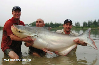 Umpan Pelet Ikan Patin Babon