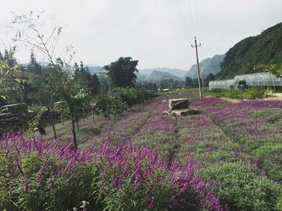 Mùa hoa oải hương ở thung lũng Bắc Hà 7