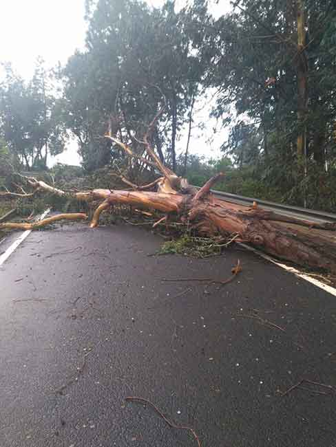Cae un árbol en la carretera GC-70