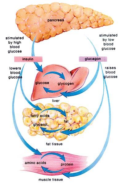 diabetes – Store medisinske leksikon