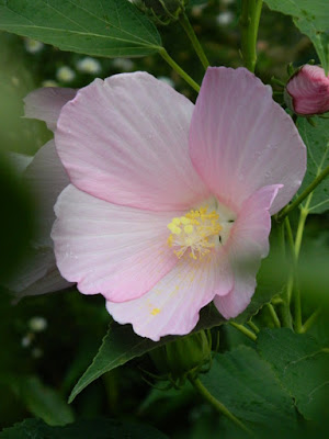 Hibiscus moscheutos Swamp rose mallow Toronto ecological gardening by garden muses-not another Toronto gardening blog