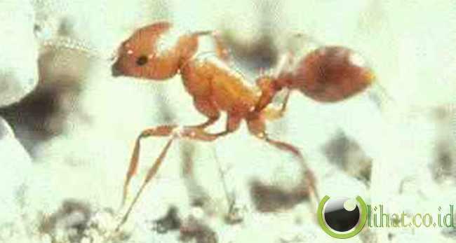 yellow Harvester Ant