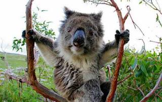 Koala invites you in