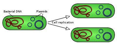 Relaxed Plasmid