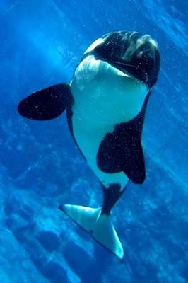 imagenes de orcas sonriendo