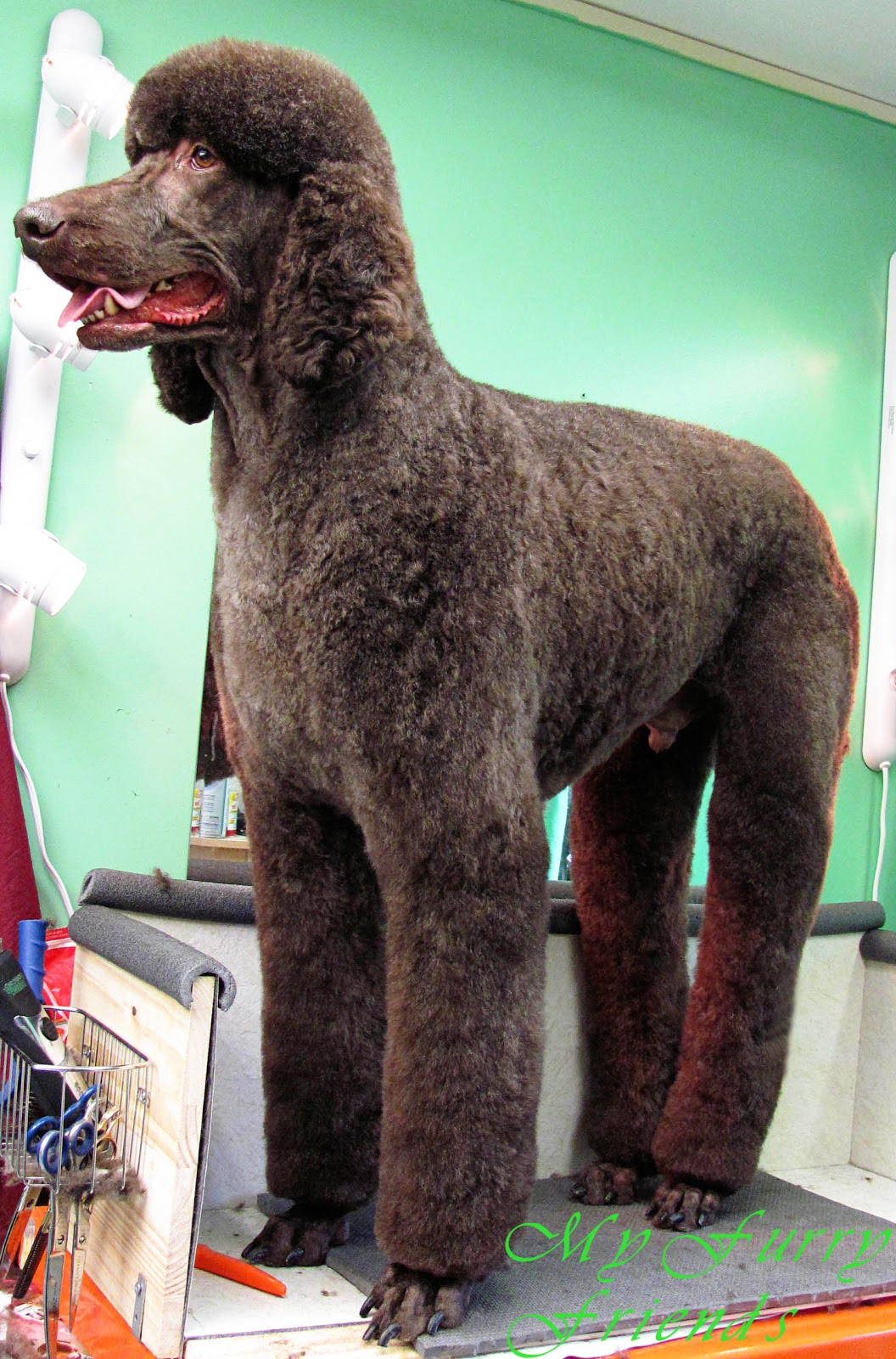 pet grooming: the good, the bad, & the furry: no poodle look