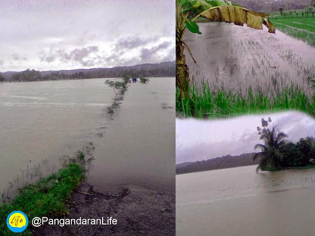 sawah yang terendam banjir
