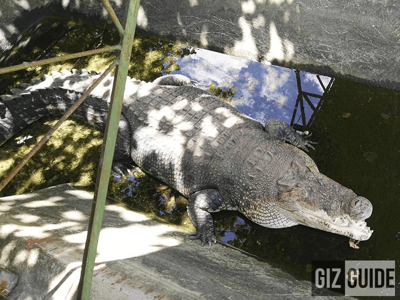 Meet Mac Mac the biggest crocodile in captivity