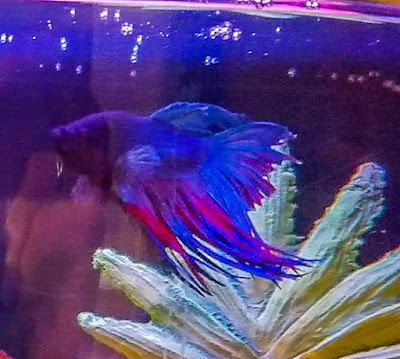 Tail biting on a blue crowntail betta fish