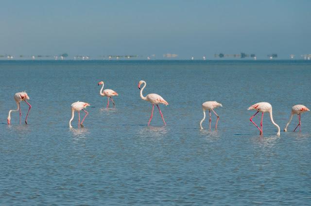 flamingi, flamingoo in europe, camargue, gdzie flamingi w europie,  wakacje z dzieckiem, vacansoleil opinie, lazurowe wybrzeże przewodnik, langwedocja przewodnik, kempingi vacansoleil, podróże z dzieckiem