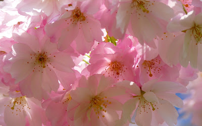 white and pink flowers widescreen resolution hd wallpaper