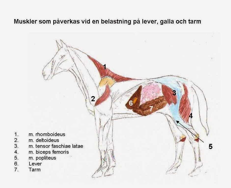 Anatomi Ryggmuskler