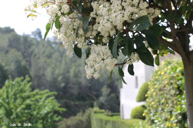 Fotinia llena de flores en primavera