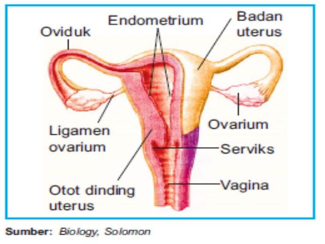 Bagian-Bagian Organ Reproduksi Wanita