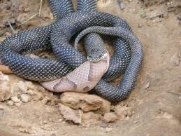 A giant black snake eating a copper head snake