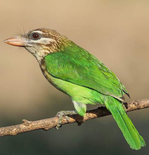 Indian birds - Picture of White-cheeked barbet - Psilopogon viridis