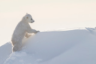 Foto-foto Beruang Kutub Ini Diambil Oleh Fotografer yang Rela Menunggu Selama 117 Jam di Cuaca yang Dingin