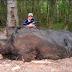 Pria Ini Berhasil Menangkap Babi Raksasa