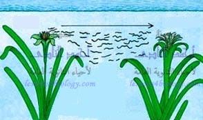التلقيح بالماء فى النباتات الزهرية