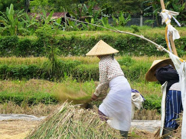 risskörd på Bali