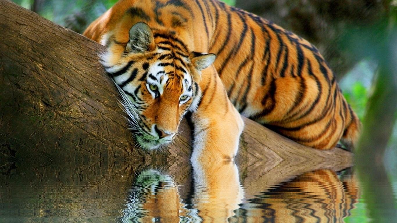 Wallpapers 1920x1080 wallpapers tiger tigre hd 1920x1080 - Tiger hd wallpaper for pc ...