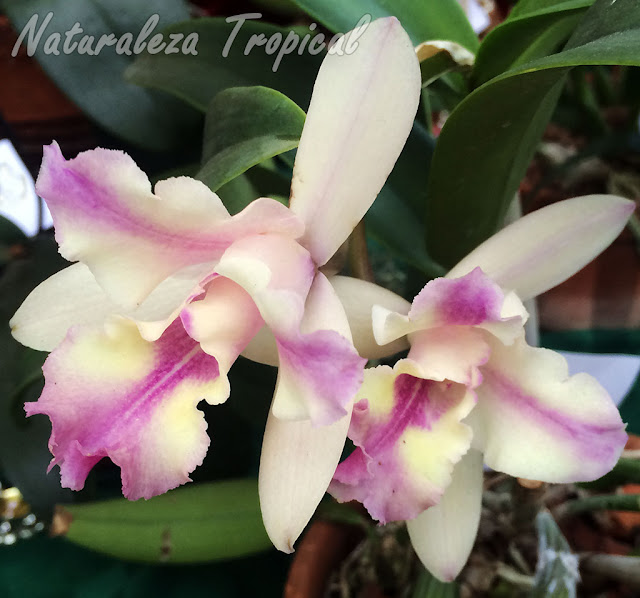"""Híbrido intergenérico de una especie de orquídea del género Cattleya con otra del género Guarianthe. Nombre: Cattlianthe """"Farandulera"""""""