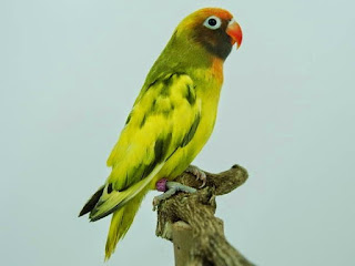 4  Jenis Burung Lovebird Yang Masih Asli Tanpa Percampuran
