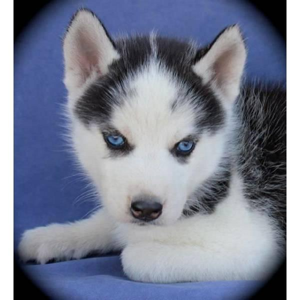 Cute Puppy Dogs: Siberian Husky Puppies With Blue Eyes