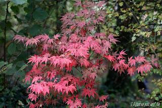 acer bloodgood couleur automne