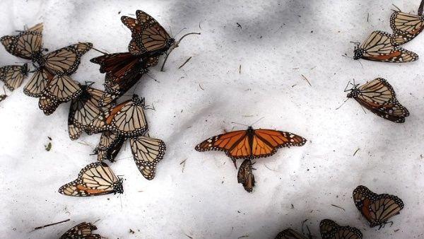 Mariposas podrían desaparecer por deforestación en México