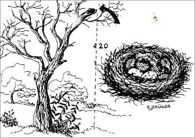 Burlisto pico canela Myiarchus swainsoni