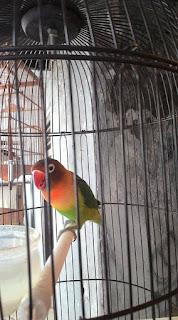 Cara Agar Lovebird Nagen dan Anteng di Tangkringan Saat Ngekek di Perlombaan