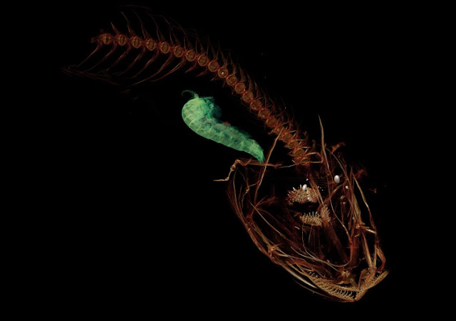 Cientistas registram peixe que vive na maior profundidade dos oceanos