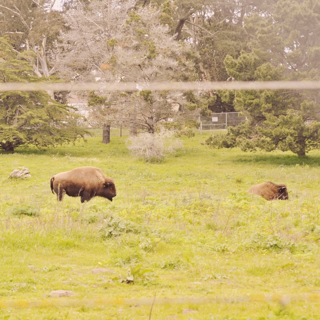 free things to do in San Francisco golden gate park bison paddock