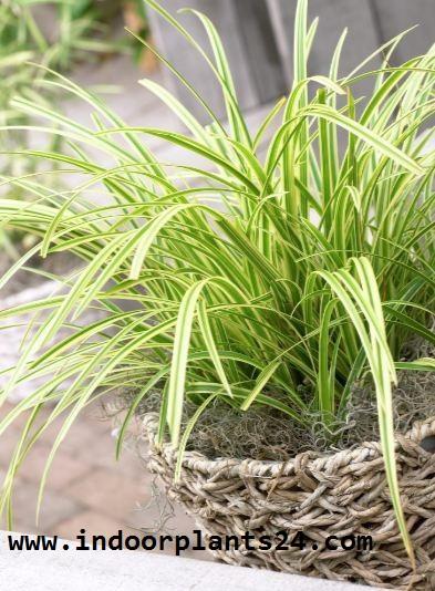 Cyperaceae Japanese Sedge Grass Plant picture