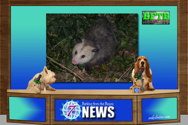 BFTB NETWoof News about drunk opossum